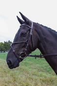 Veritas Fancy Raised Figure-8 Bridle
