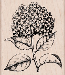Hydrangea picture