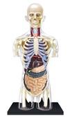 4D Human Anatomy Transparent Torso Model