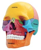 4D Anatomy Didactic Exploded Skull