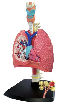 4D Human Anatomy Respiratory System Model picture