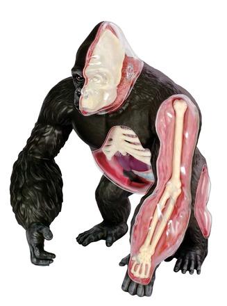 4D Vision Gorilla Model picture