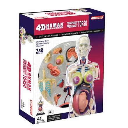 4D Pregnancy Anatomy Torso picture