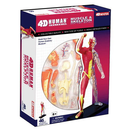 4D Human Anatomy Muscle & Skeleton Model picture