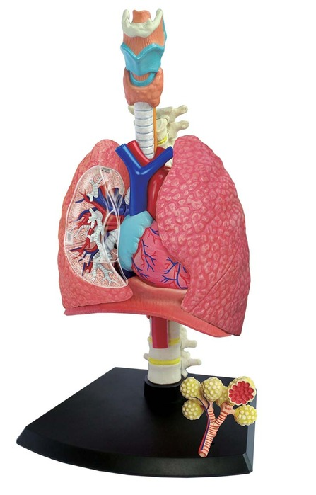 4D Human Anatomy Respiratory System Model | TEDCO Toys ®
