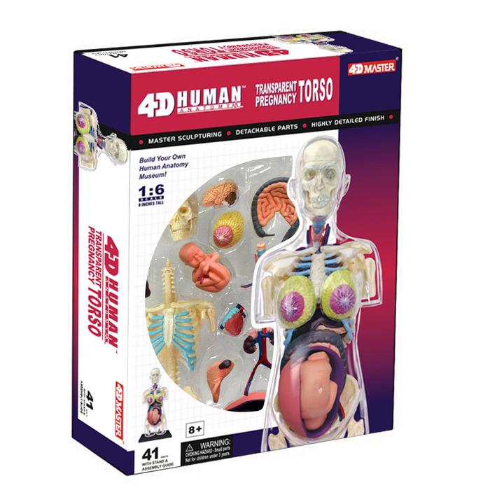 4D Pregnancy Anatomy Torso   TEDCO Toys ®