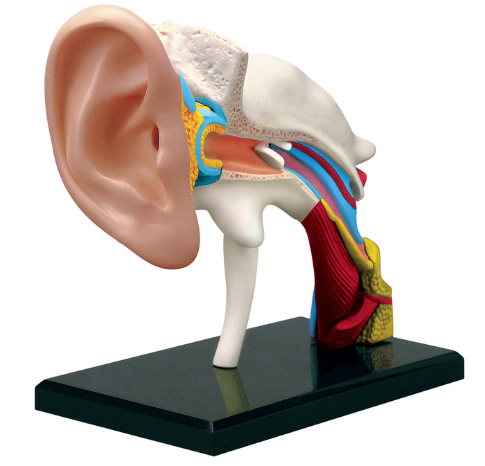 4D Human Anatomy Ear Model | TEDCO Toys ®