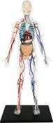 4D Human Anatomy Transparent Human Body