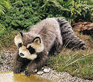 Raccoon, Large