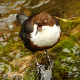 Dippers on the River Axe by UK local hero Victoria Hillman