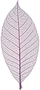 "Rubber Tree Leaves - 3"" - Dark Purple picture"