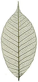 Rubber Tree Leaves - 3&quot; - Green picture