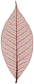 "Rubber Tree Leaves - 3"" - Plum picture"