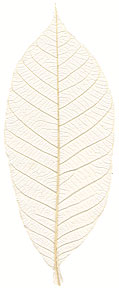 "Rubber Tree Leaves - 1.5"" - Natural picture"