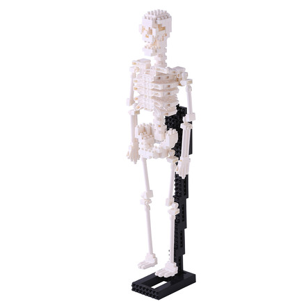Human Skeleton picture