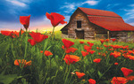 Barn in Poppies