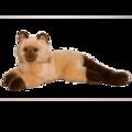 Sbstn HIMALAYAN CAT
