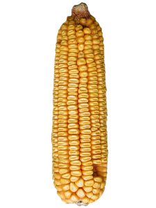 Ear Corn - 20 pack picture