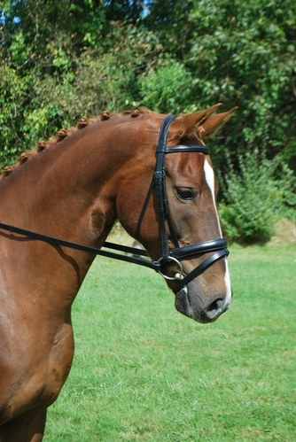 CAPRIOLE NOSEBAND picture