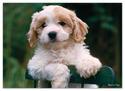 Precious Puppy Cardboard Jigsaw - 30 Pieces