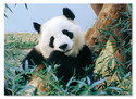 Giant Panda Cardboard Jigsaw - 30 Pieces