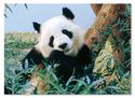 Giant Panda Cardboard Jigsaw - 30 Pieces